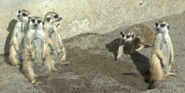 Point Defiance Zoo Meerkats