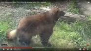 San Fransico Zoo Wolverine
