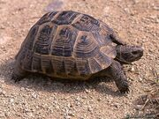 Tortoise, Common