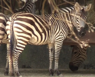 Baton Rouge Zoo Zebra