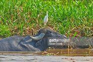 Cattle Egret on Water Buffalo