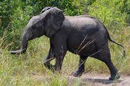 East African bush elephant calf