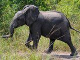 Dumbo (NatureRules1 and GavenLovesAnimals' Style)