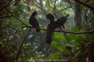 Male and Female Umbrellabirds