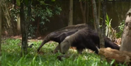 Singapore Zoo Anteater