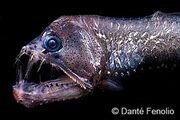 Viperfish-closeup-se48