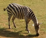 Fort Wayne Children's Zoo Zebra