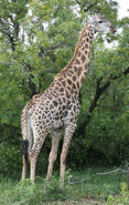 Giraffa camelopardalis giraffa 2007-01-02 3
