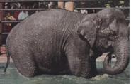 Lincon Park Zoo Asian Elephant