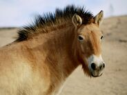 Przewalski's Horse1