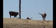 San Diego Zoo Safari Park Cows