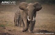 African-elephants-walking