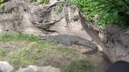 DAK Crocodile