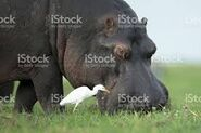 Hippo and Egret On Land