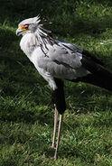 IMG 4446-Secretary-Bird-236x351