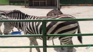 Kalahari Resorts Zebra
