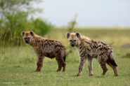 Male and female eastern spotted hyenas