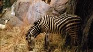 Rolling Hills Zoo Plains Zebra