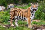 Tiger (V2)