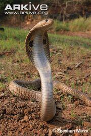 Cobra, Indian