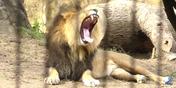 Memphis Zoo Lion