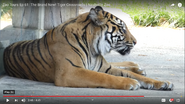 Nashville Zoo Tiger