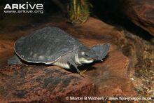 Pig-nosed-turtle-underwater