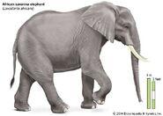 African Savanna Elephant Anatomy