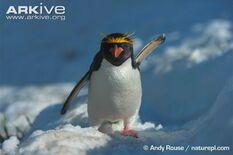 Penguin, Macaroni