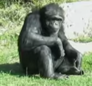Sedgwick County Zoo Chimpanzee
