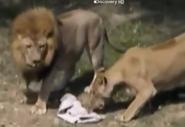 UTAUC Lions