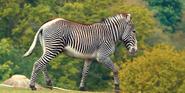 WMSP Grévy's Zebra