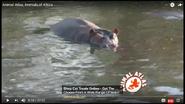 Animal Atlas Hippos