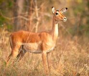 Impala-Female-Aepyceros-melampus