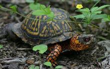 Male-eastern-box-turtles
