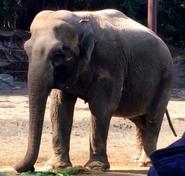 Point Defiance Zoo Asian Elephant