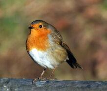 Robin, European