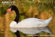 Swan, black-necked