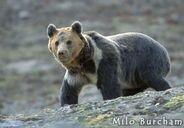 Tibetan bear02