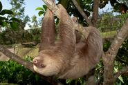 Two toed Sloth In Motion 600