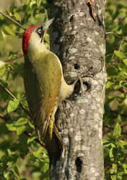 Woodpecker, European green