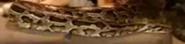 BTJG Snake