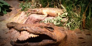 Great Plains Zoo Crocodiles