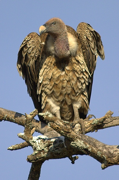 ruppell s vulture or ruppell s griffon vulture gyps rueppellii is a large african vulture that feeds solely on carrion and bone fragments of dead animals