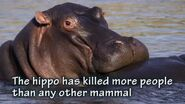 The Hippopotamus Has Killed More People Than Most Other Mammals