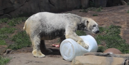 Lincon Park Zoo Polar Bear