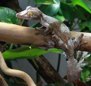 Male-Uroplatus-Fimbriatus