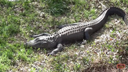 Oklahoma City Zoo Alligator