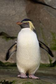 Penguin, Northern Rockhopper
