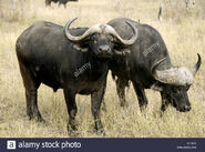 Two African Cape buffalos